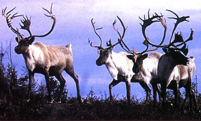 Affordable Adventures Caribou Hunting In Labrador Newfoundland